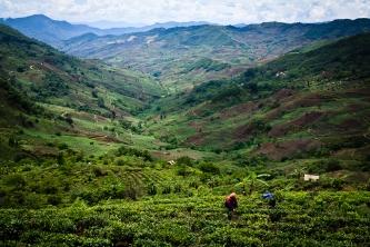 Tea fields, Xiding, Yunnan province, China